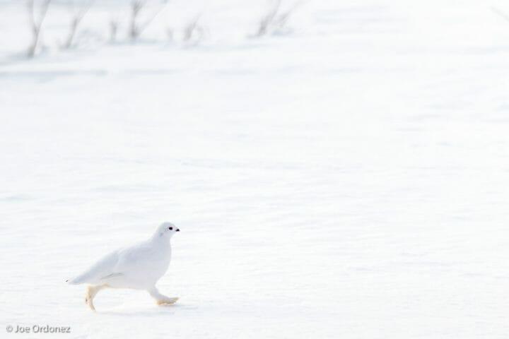 Ptarmigan snowshoeing